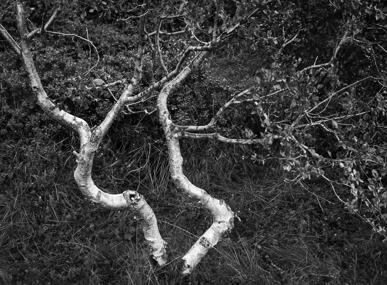 Iceland Birches III